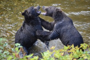 grizzly siblings fight