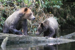 grizzlies share log for fishing