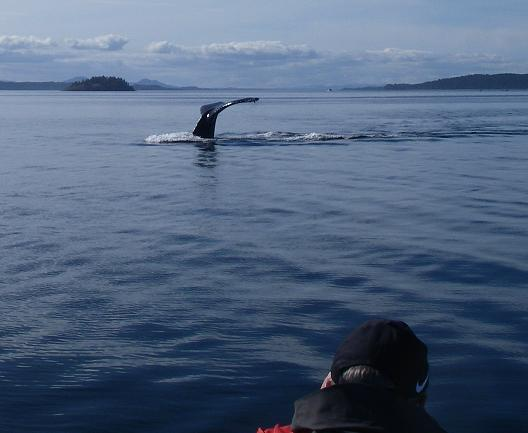Humpback fluking close