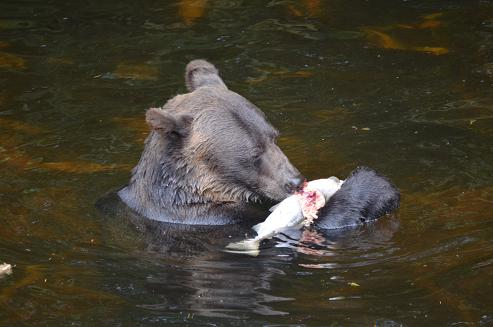 Grizzly Bear Eeating Salmon