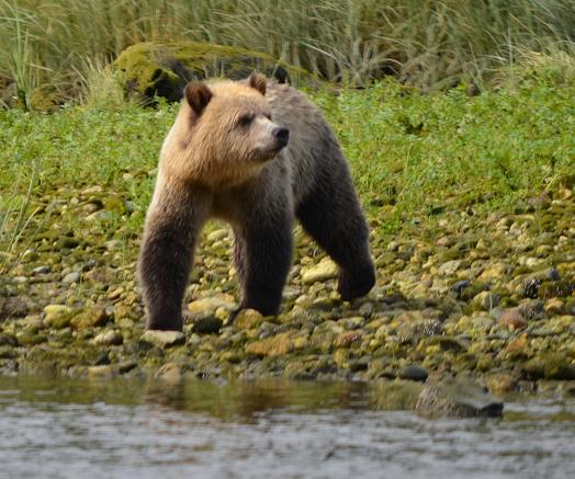 Grizzly Bear Knight Inlet