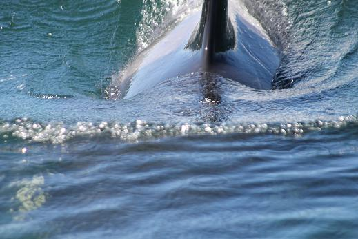 Orca Very Close