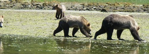 Grizzly Bears  Too Many?