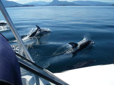 Pacific Whiteside Dolphins