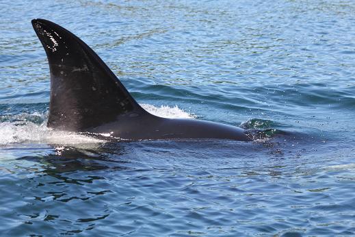 Orca coming close