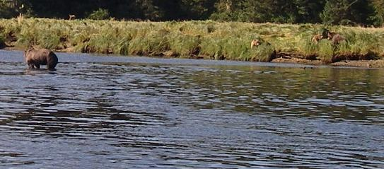Grizzlies in river eatuary