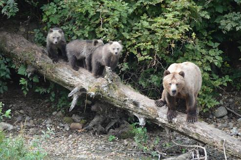 Grizzly and cubs on Log