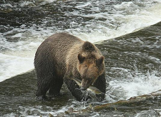Grizzly with a salmon