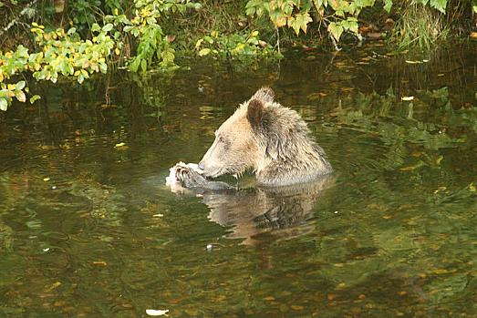 Grizzly Eating Salmon