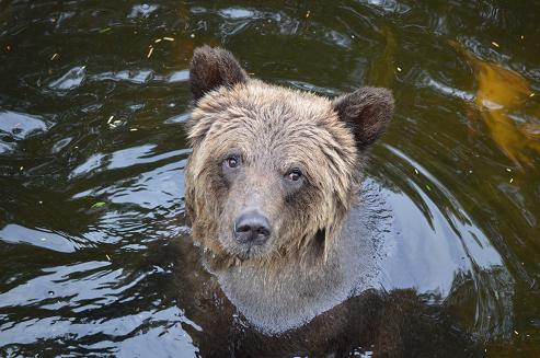 Grizzly Bear Watching?
