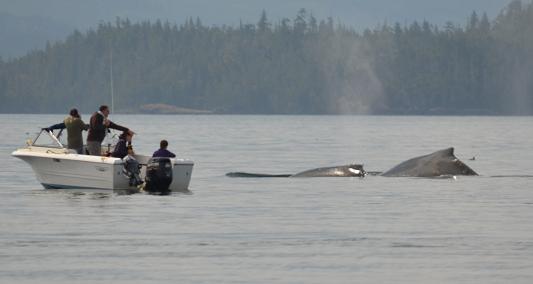 Humpback Whales visiting