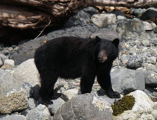Black Bear on the beach