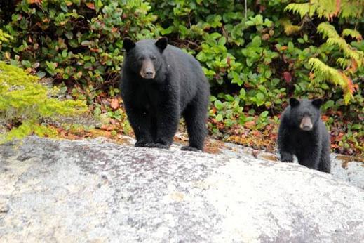 Black Bear Knight Inlet