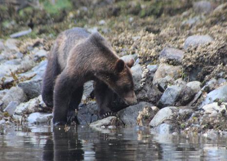 Grizzly Ber beach feeding