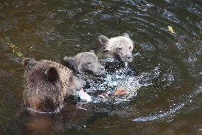 Grizzly Bear fish fight