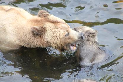 grizzly bear discipline