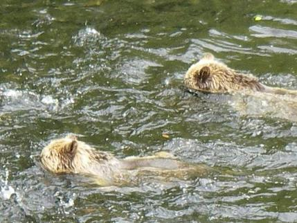 Grizzly Bears Swimming