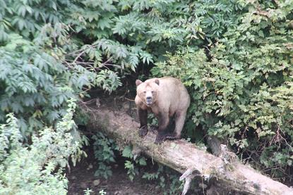 Grizzly bear waiting