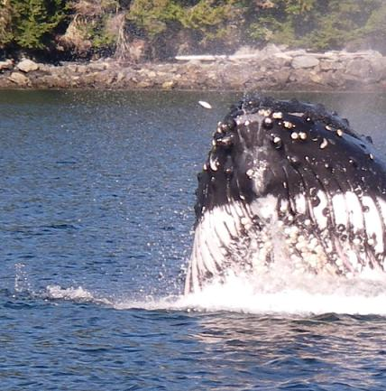 Humpback Whale under jaw