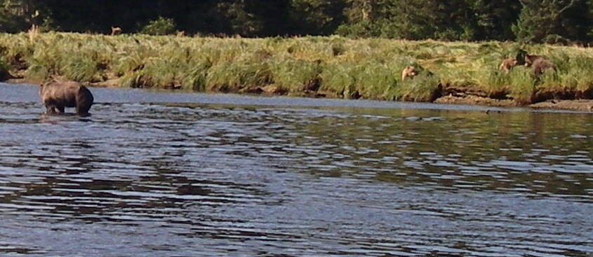 Grizzly Bears in river