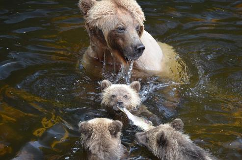 Grizzly bears sharing salmon