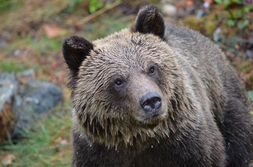 Grizzly watching?