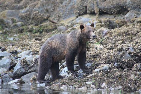 Grizzlies on the beach