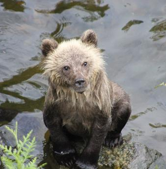 Grizzly cub waiting