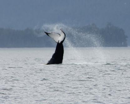 Humpback tail lobbing