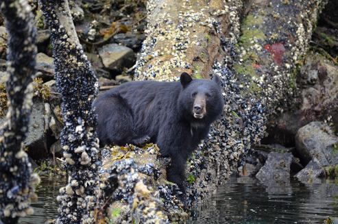 Black Bear on shore