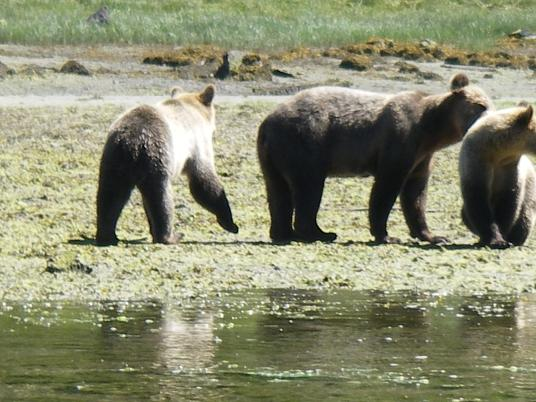 River Grizzly Bears