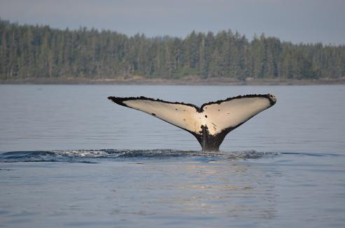 Humpback Whale Tail 2