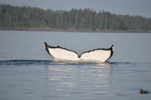 Humpback Whale Tail 4