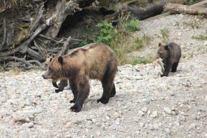 Grizzly cubs with salmon