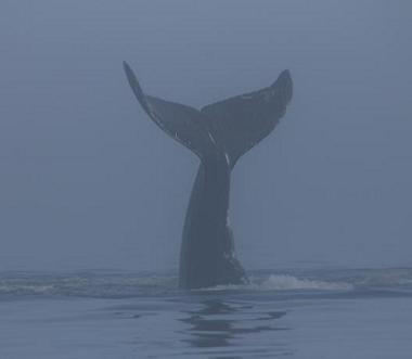 lobtailing humpback