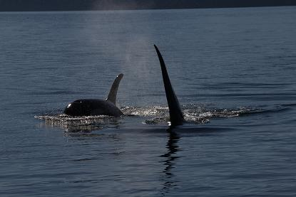 Killer Whales approaching