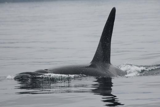 Male killer whale