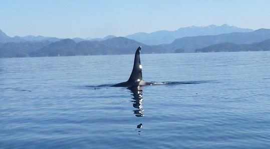 orca reflection