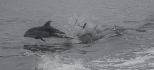 Whitsides - Dolphins