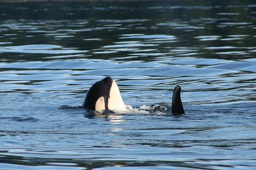 Killer whale spyhopping