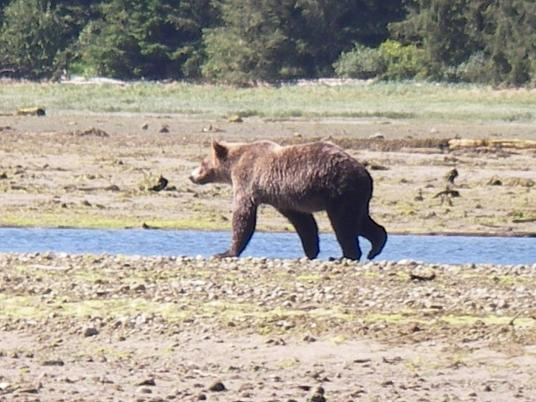 Estuary Grizzly Bear
