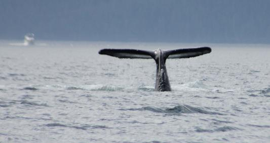 Good Tail for humpback