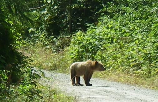Grizzly blocking road