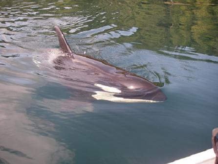 Killer Whale Visiting