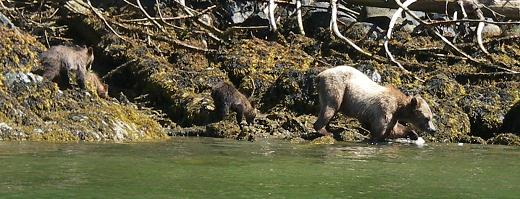 Mother grizzly with cubs