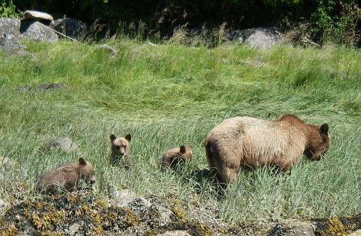 Grizzly with triplets