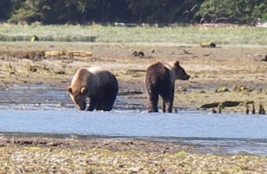 Grizzlies in river estuary