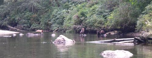 Grizzlies in the river