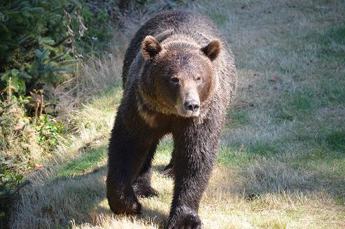 grizzly on causeway
