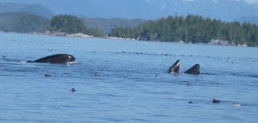 Humpbacks Lunging